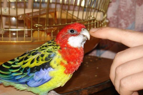 Пестрый попугай розелла