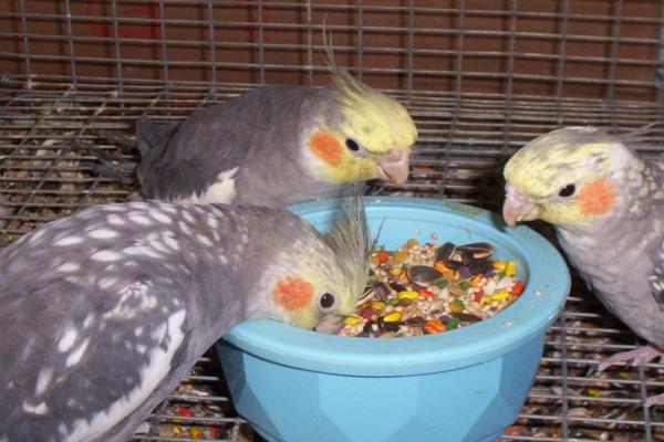 Попугаи наедаются впрок