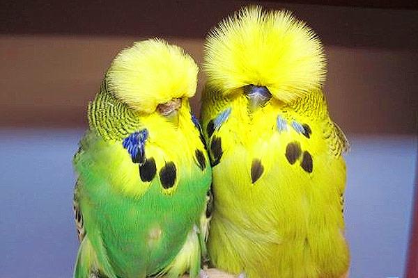 Попугаи чехи - спокойные птицы