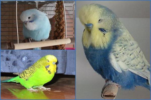 Отличие попугая чеха от обычного волнистика
