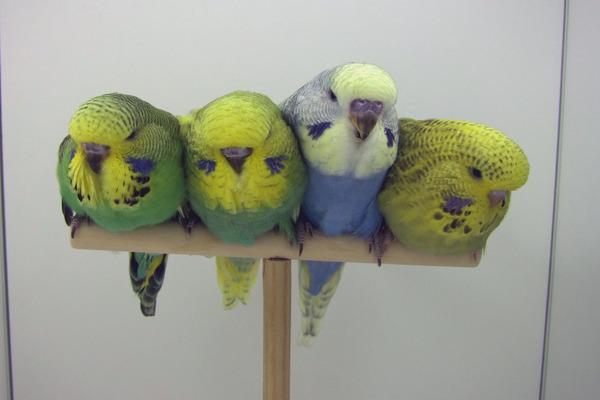 Птенцы попугаев чехов