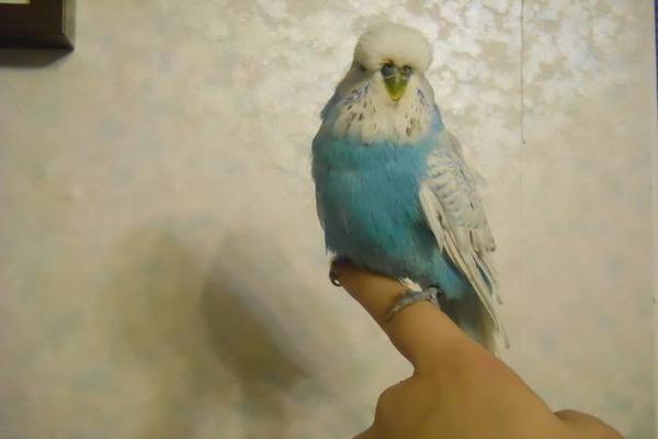 Воспитание попугайчика