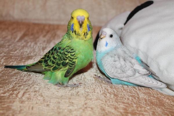 Попугаи чехи ценятся выше обычных волнистиков