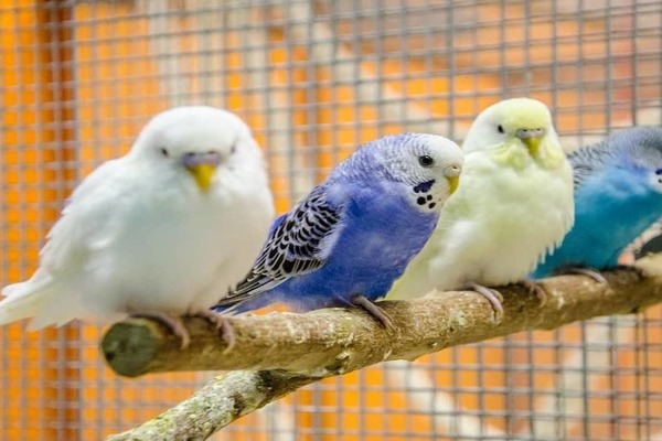 Различные виды окраски волнистых попугаев