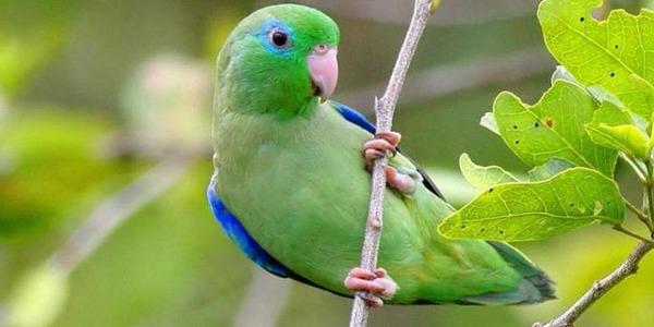 Воробьиный попугайчик