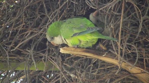Размножение попугайчиков в природной среде