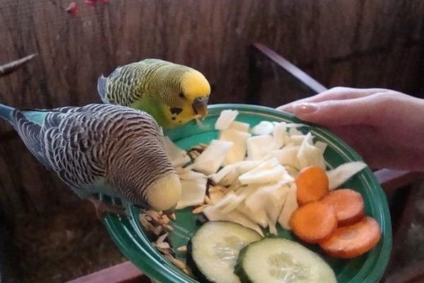 Овощи в рационе попугаев