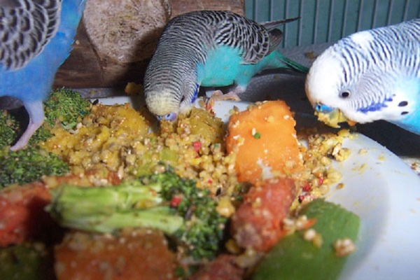 Волнистые попугаи кушают кашу с овощами