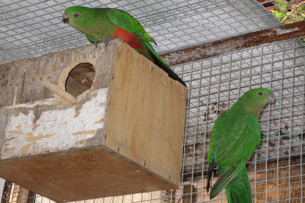 Размножение королевского попугая