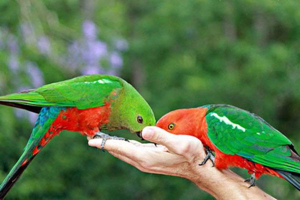 Пара королевских попугаев