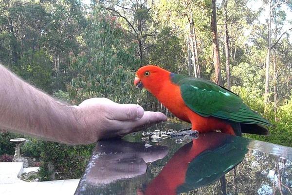 Способности королевских попугаев