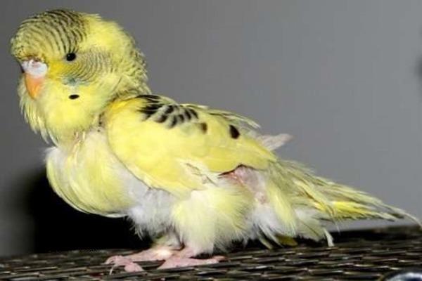 Во время линьки у попугая чешется все тело