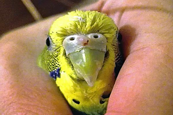 У попугая воспаление слизистой оболочки носа