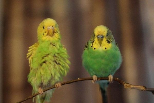 Попугаи теряют перья