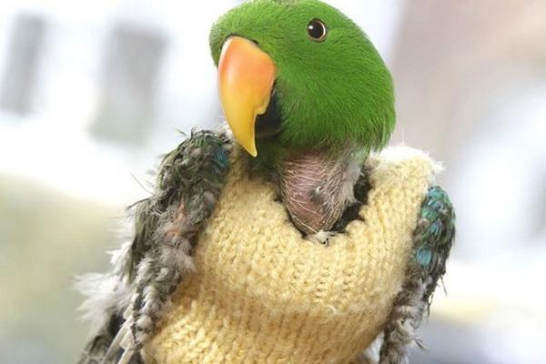 Ощипанный и одетый попугайчик