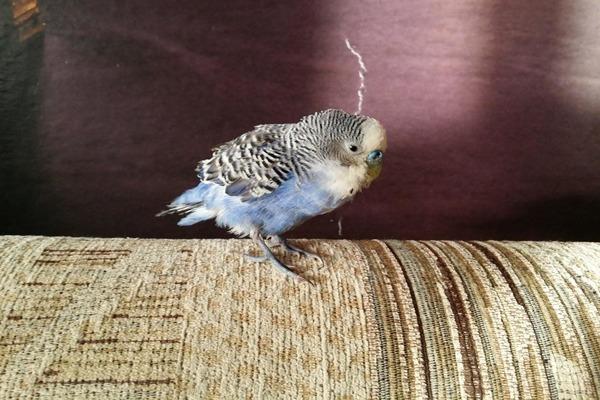 Устраняем проблему, приводящую к самоощипыванию перьев