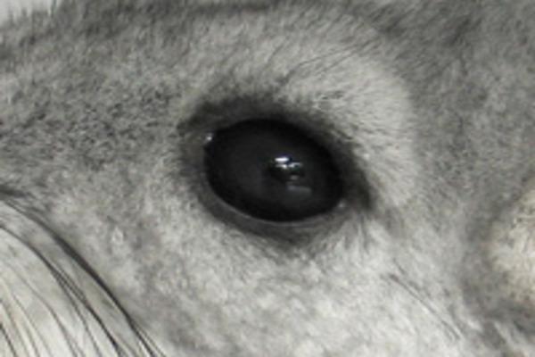 Устраняем причину заболевания глаз питомца