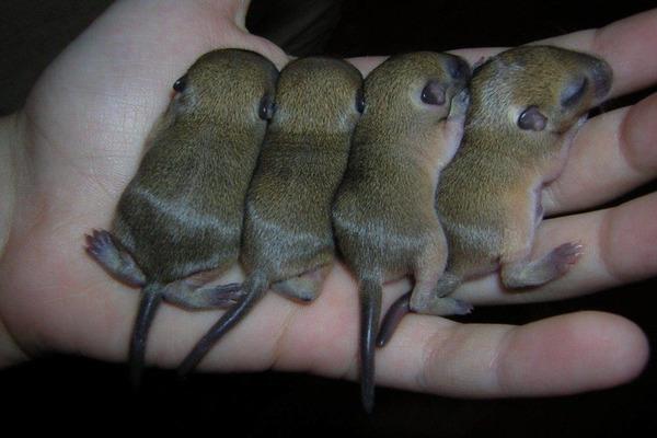 Рождение потомства у пушистой пары зверьков