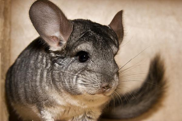 Серый окрас животного