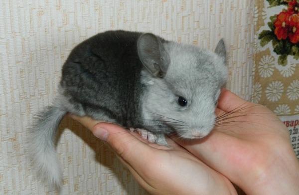 Шиншилла - животное с характером