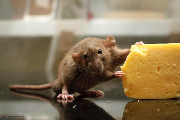 Крыса кушает сыр