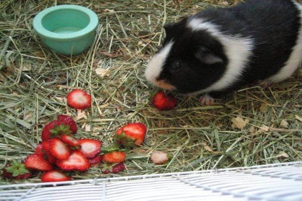 Морская свинка с удовольствием кушает клубнику