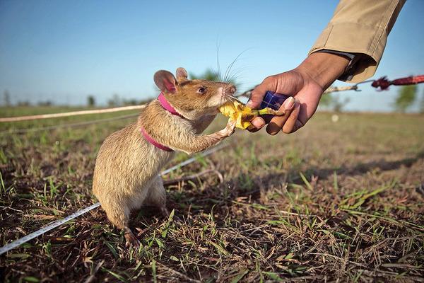 Выбираем вкусняшки для крысы