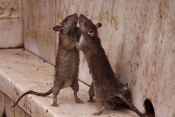 Крысы кусают друг друга