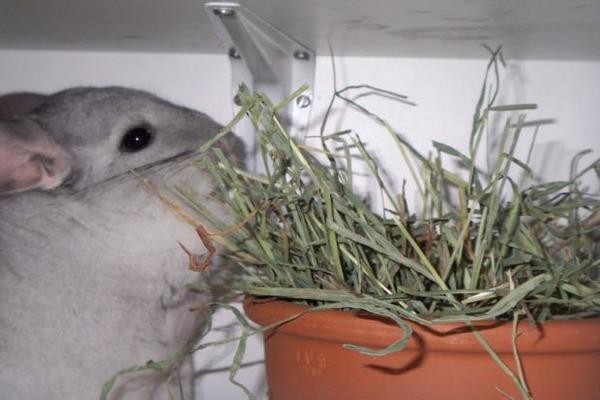 Шиншилла кушает сено