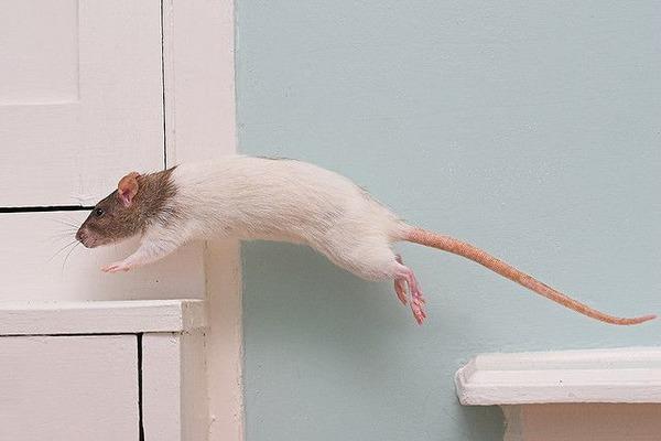Крыса выполняет несложные трюки
