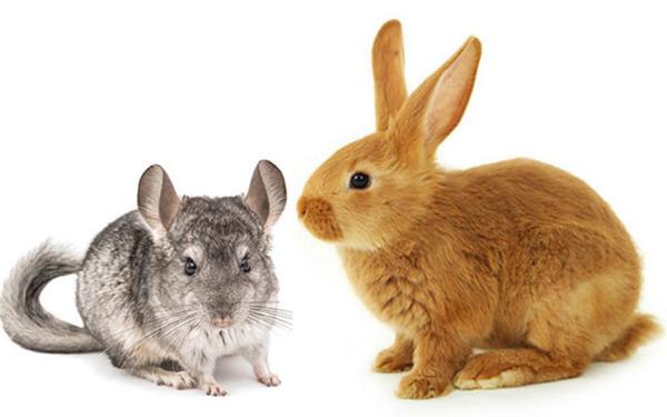 Шиншилла и кролик