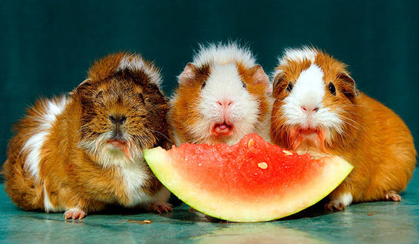 Морские свинки кушают арбуз