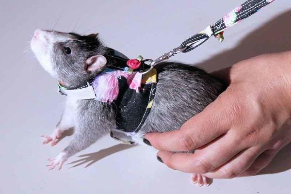 Крыса позволила одеть на себя шлейку