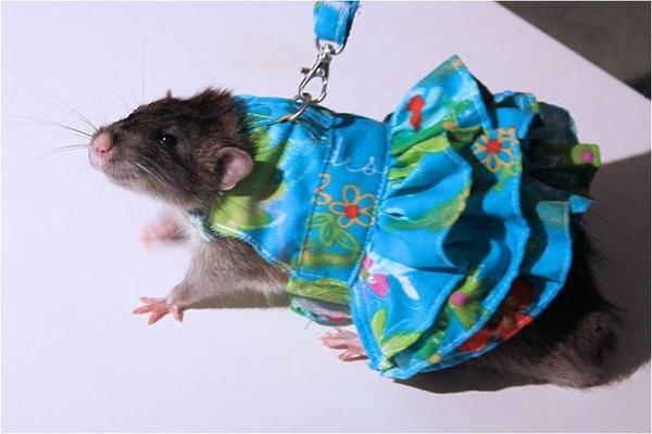 Крыса-девочка на прогулке