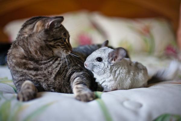 Кот и шиншилла подружились