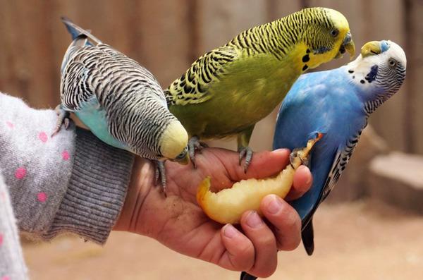 Попугаев приучают кушать фрукты