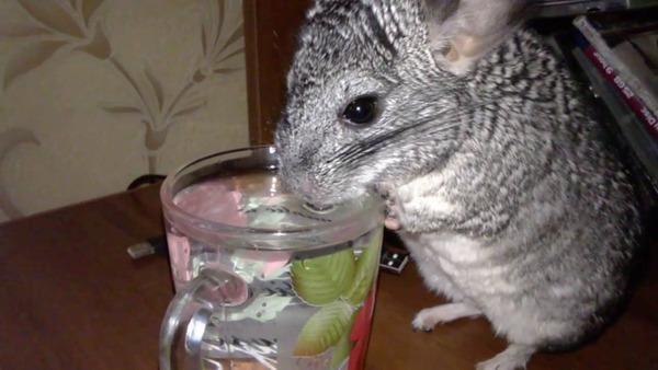 Любопытный зверек пьет воду с бокала