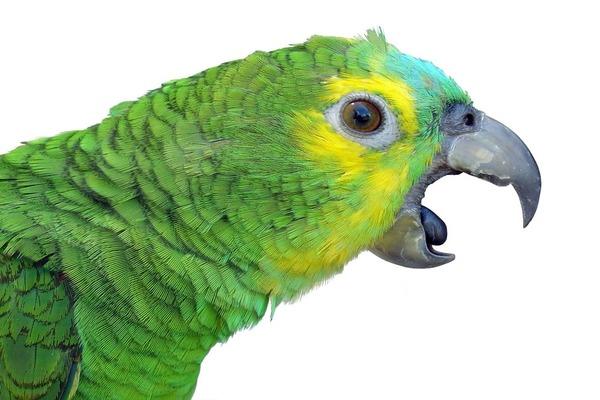 Попугай регулярно открывает клюв