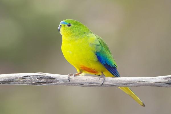 Золотистобрюхий попугай