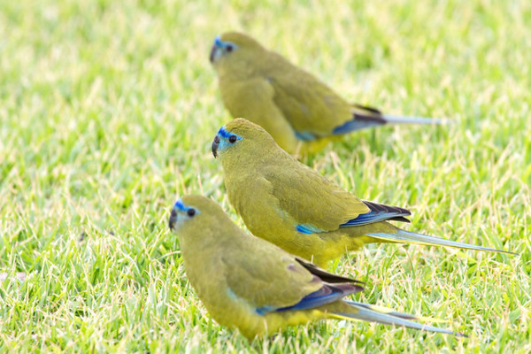 Скальные попугаи