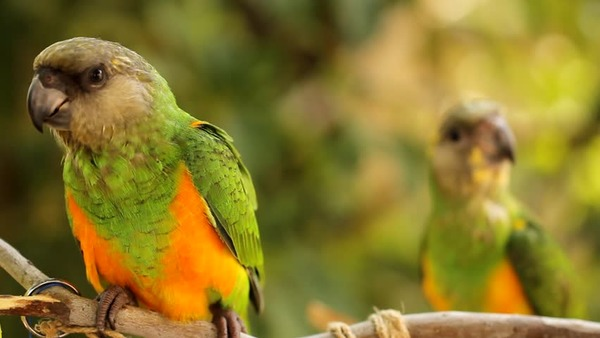 Длиннокрылый попугай Финча