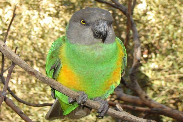 Длиннокрылый попугай