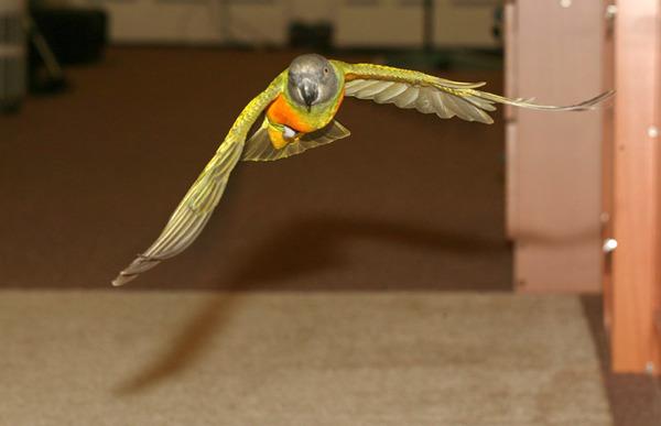 Попугай летает по квартире
