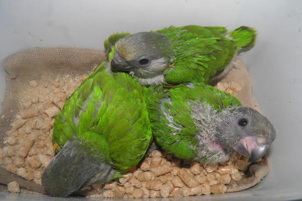 Сенегальские птенцы
