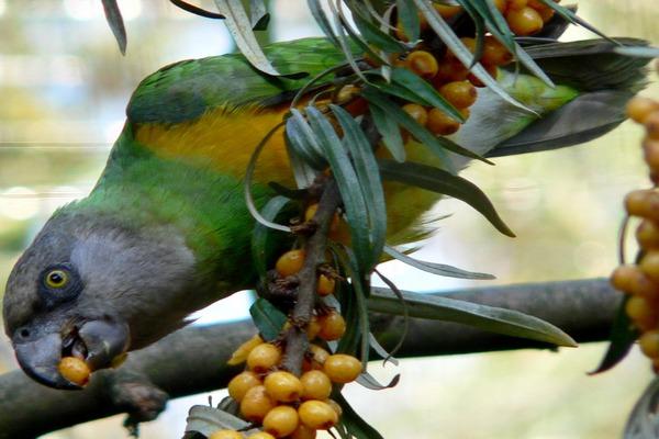 Попугай кушает фрукты