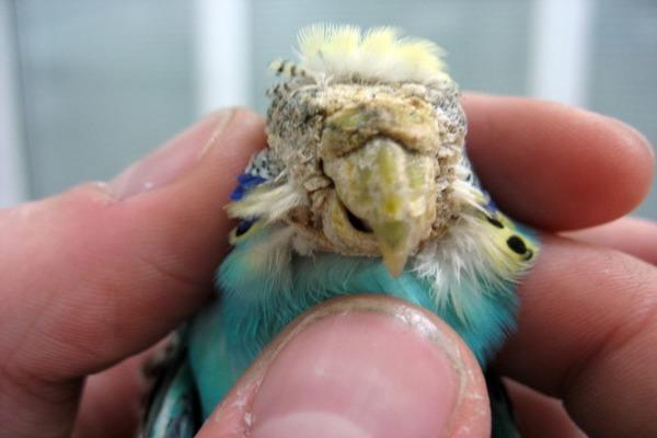 У попугая стерностомоз