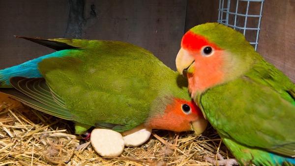 Для создания пары выбираем здоровых птиц