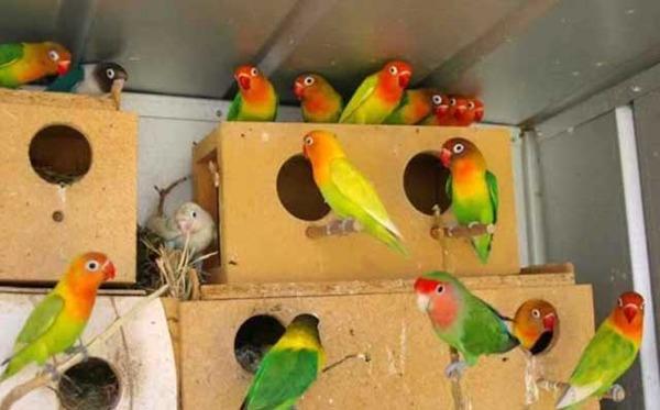 Попугайчики сами ищут себе пару
