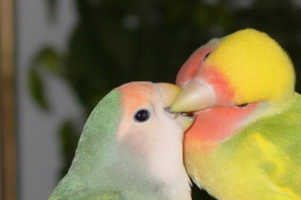 Проявление чувств есть и в попугаев