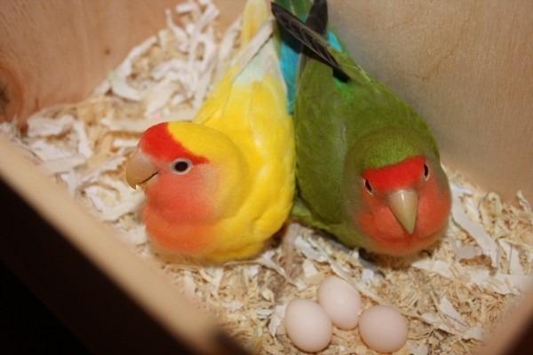 Неразлучники в гнезде
